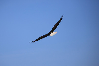 Bald Eagles of Minnesota