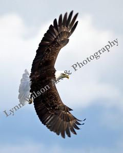 Eagle Spread Wings