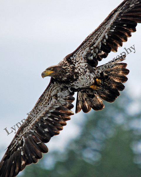 Young Eagle Spread Wings