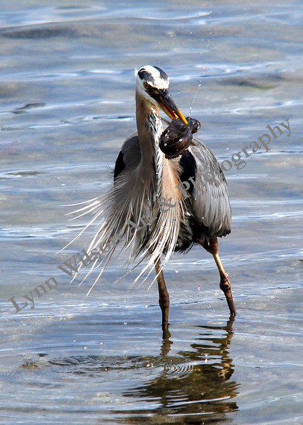 Blue Heron Fish In Mouth