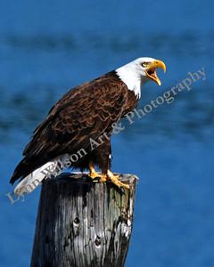 Bald Eagle Talking
