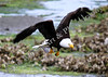 Bald Eagle Carrying Fish In Claw