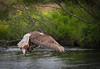 Alaskan Adult Bald Eagle snatching dinner.