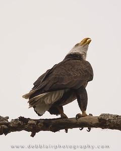 Eagle 110