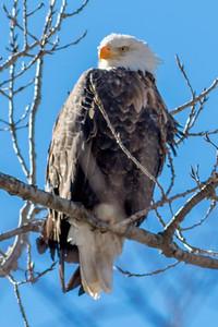 Bagnell Dam Eagles-43