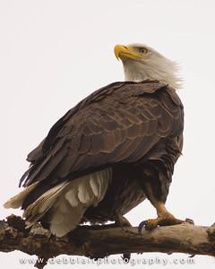 Eagle 111