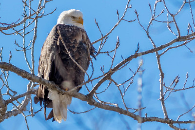 Bagnell Dam Eagles-41