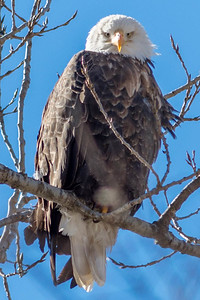 Bagnell Dam Eagles-38