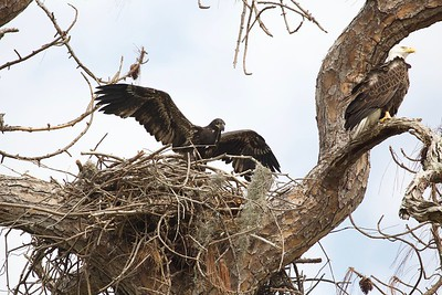 """Fledgling eagle practicing flying called """"Lifting"""""""