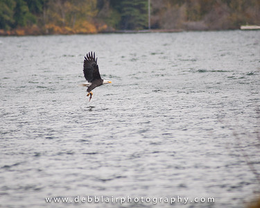 Eagle 31