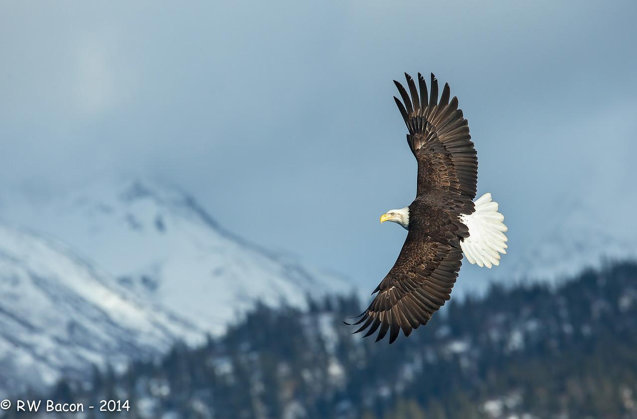Homer Eagle - Top Side