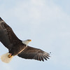 Maine Eagle<br /> Copyright 2014 Travis Hill Photography