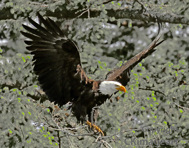 Eagle Flying in Trees