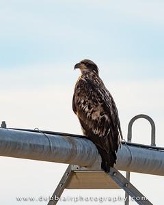 eagle131