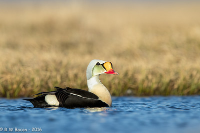 King Eider Portrait