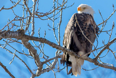 Bagnell Dam Eagles-57