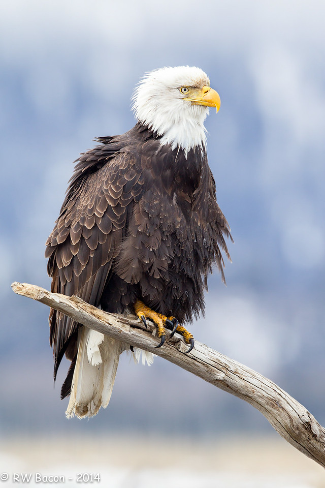 Homer Eagle - Fluffed-Up on a Perch