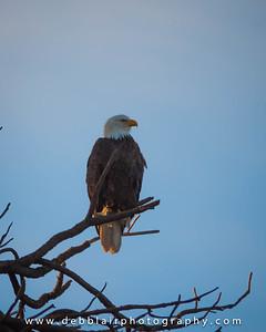 Eagle 39