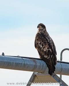 eagle127