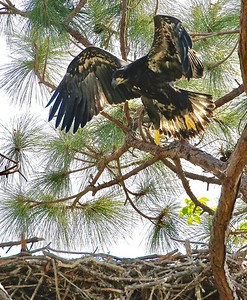 Fledgling Bald eagle practicing flying above the nest