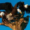 Eagles have Landed, Homer,AK, on the spit 10x14