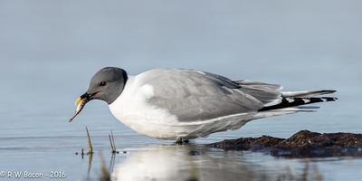 Sabines's Gull