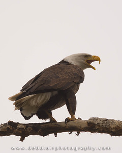 Eagle 109