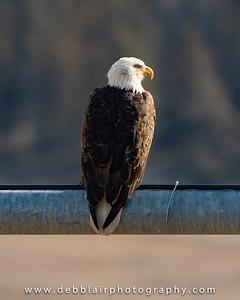 eagle128