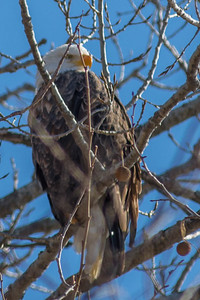 Bagnell Dam Eagles-25