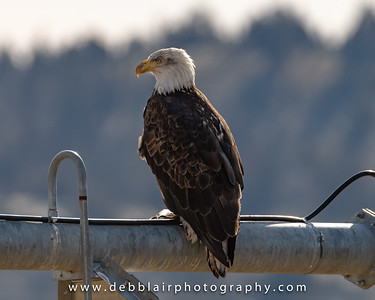 eagle136