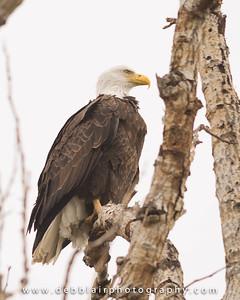 Eagle 115