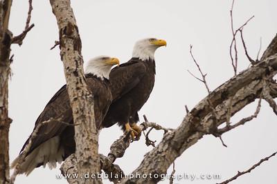 Eagle 108