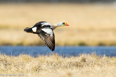 King Eider Fly By