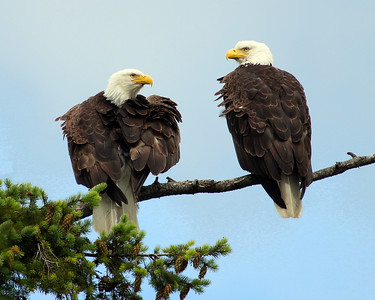Eagle Pair in Wind