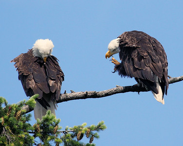 Two Eagles Scratching