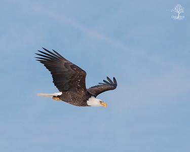 Eagle 15