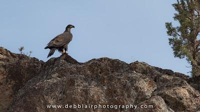 Eagle 138