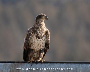 eagle135