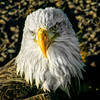 Portrait of a eagle in Homer,AK max size 12x12