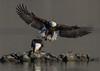 Eagles dinning together.
