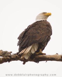 Eagle 113