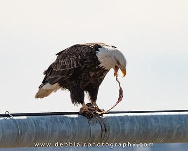 eagle129