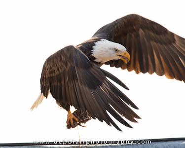 eagle134