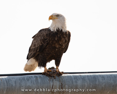 eagle132