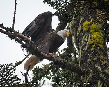Eagle 29