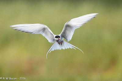 Artic Tern Kiting