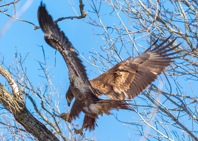 Bagnell Dam Eagles-4