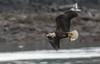 Eagle and Herring.