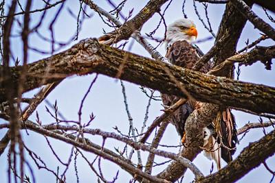 Eagles (02_12_2016)-2-2
