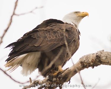 Eagle 116